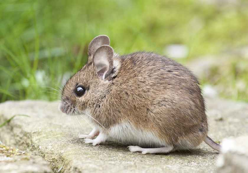 animal cute little mouse